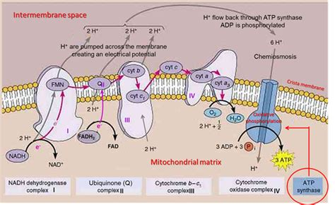 bio oxidation adalah electron transport chain and chemiosmosis diagram gallery