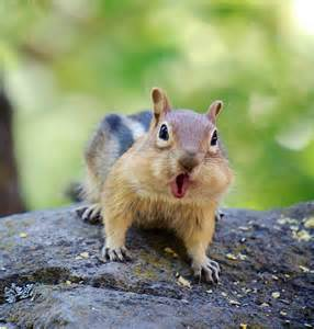 A Chipmunk - about chipmunks