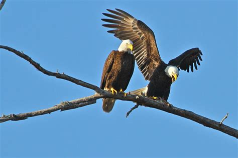bald eagles mating bald eagle mating pair photograph by carl smith