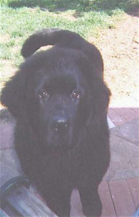 Do Newfoundland Dogs Shed by The Newfoundland Breed