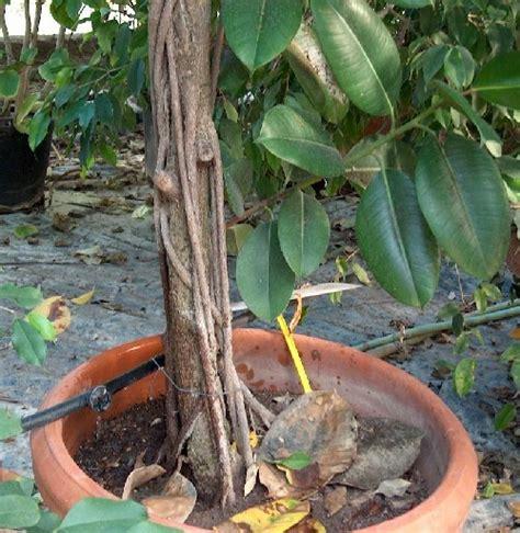 Ficus Benjamin Come Curarlo by Ficus Benjamin Perde Foglie Ficus Benjamin Perde Foglie