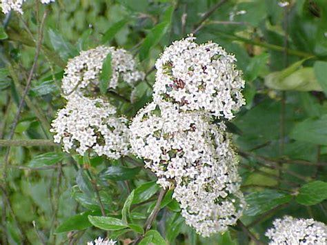 fiore bianco molto profumato viburnum