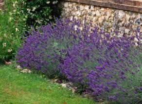 lavendel garten lavender hidcote cox garden designs