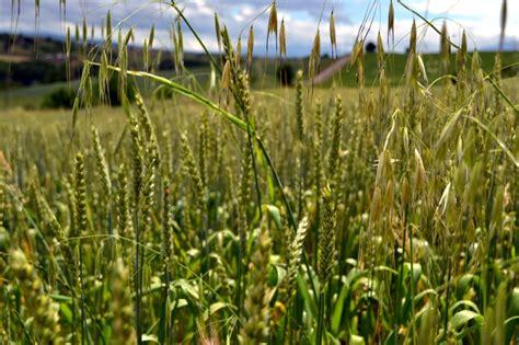 Hausmittel Gegen Unkraut Im Rasen 6732 by Klee Entfernen Mittel Erfahrungen Mit