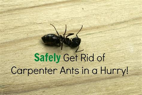 get rid of ants in house how to get rid of large black ants in the house
