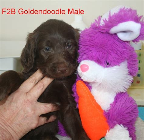 precious puppies hutton s precious puppies available goldendoodle puppies