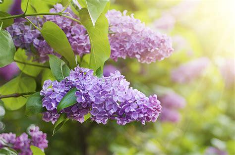 lilac flower landscape design horticulture plant nursery bethune