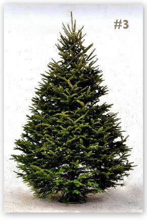 balsam fir christmas trees grown in the christmas tree