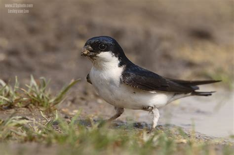 house martin graphics and animated gifs