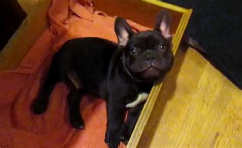 puppy bedtime frog frenchie bulldog puppy argues bedtime dogs our friends photo
