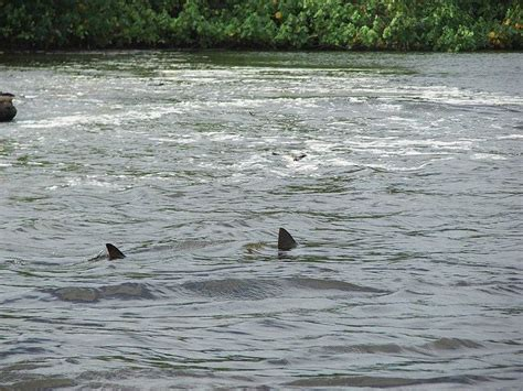 mississippi river sharks fact check great white sharks spotted in mississippi river