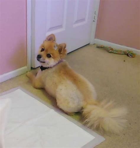 what does a pomeranian look like does my pomeranian look mixed