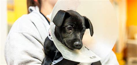 when can you neuter a puppy spay neuter your pet aspca