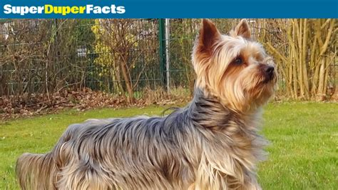 yorkie facts and information yorkie terrier breeds picture