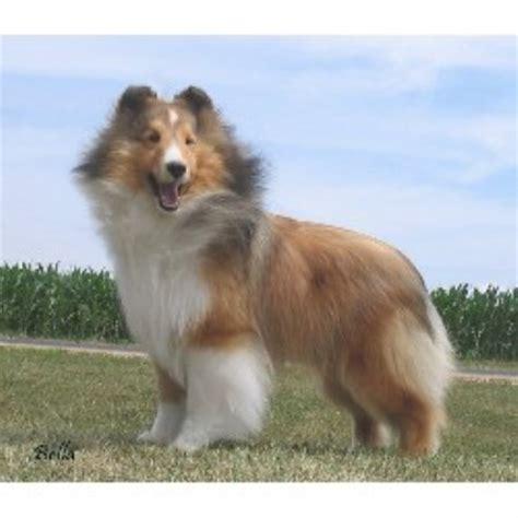 sheltie puppies for sale wisconsin wynwoods shelties shetland sheepdog breeder in marinette wisconsin listing id 10356