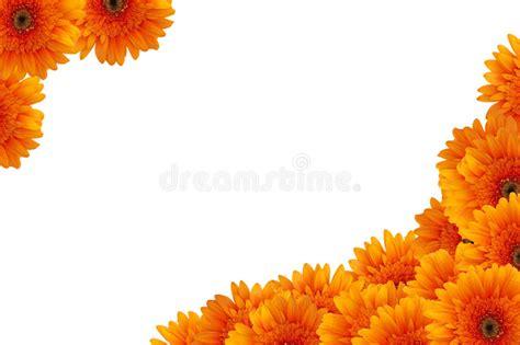 fiori arancione fiori della margherita arancione immagini stock immagine