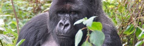 amazon rainforest animals gorilla virunga rainforest from wet to dry critical