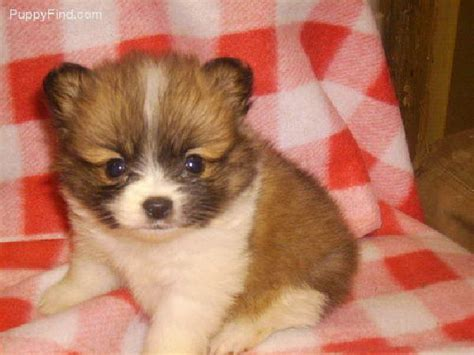 pomeranian puppies in alabama best 25 pomeranian puppies for free ideas on