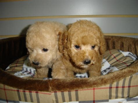 empire puppies poodle