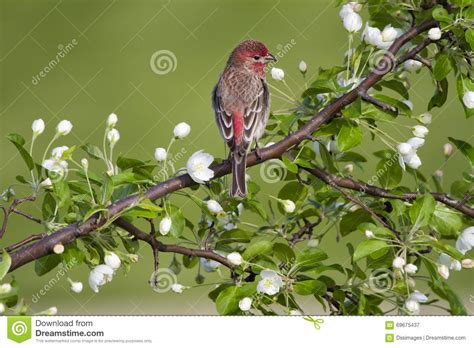 house finch breeding house finch in white blossoms stock photo image 69675437