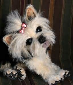 yorkie cuts teddy 14 best yorkie style inspiration images on yorkie haircuts yorkies and