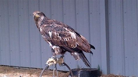 picture of alberta birds of prey visitor s centre