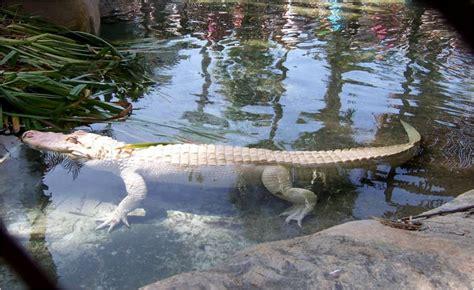 Image Gallery Los Angeles Zoo Alligator Image Gallery Lazoo