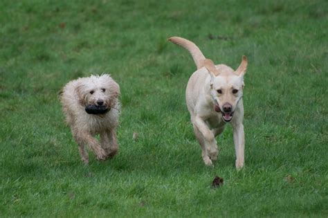 labrador doodle puppies sale uk labrador and mini labradoodle looking for new home
