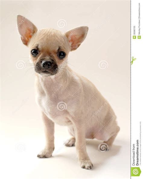 chihuahua puppies for free free chihuahua puppy breeds picture