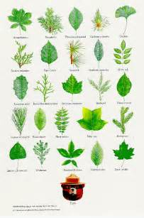 Trees leaves identification images amp pictures becuo