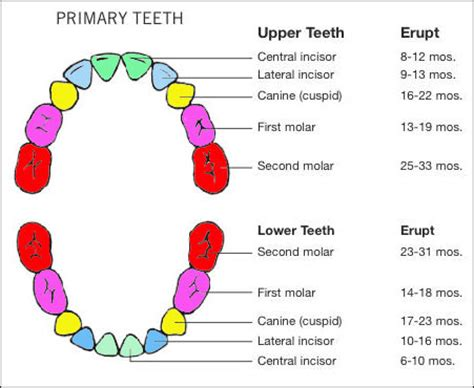 ages when baby teeth come in and fall out baby image gallery teething age