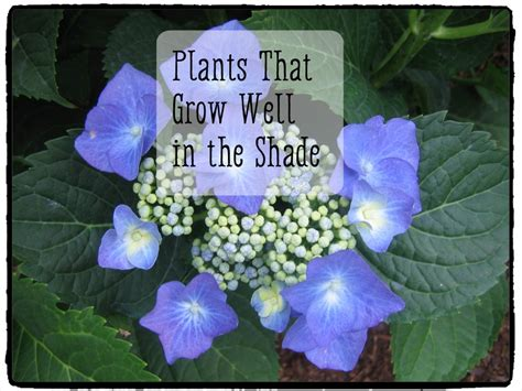 plants that will grow in the shade dengarden
