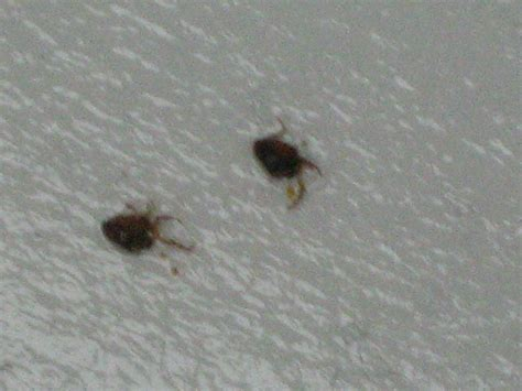 fleas in bed bugs not fleas on dogs pictures to pin on pinterest
