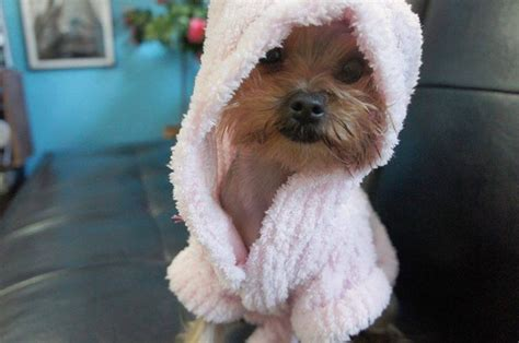 my yorkie is shaking 231 best images about animals on beagle puppies yorkie and