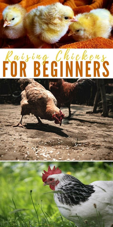 Backyard Chickens For Beginners Raising Chickens For Beginners Tips Awesome Ideas Raising Chickens Tips And