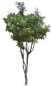 where to put a tree in a small room ficusp02 l png 616 215 1036 tree cut out cambodian plants