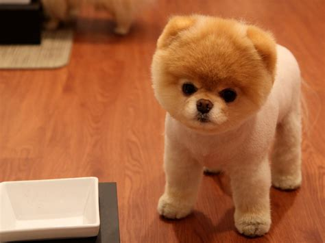 pomeranian facts pomeranian puppies rescue pictures information temperament characteristics