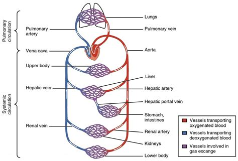 blood vessels diagram structure and function of blood vessels anatomy and
