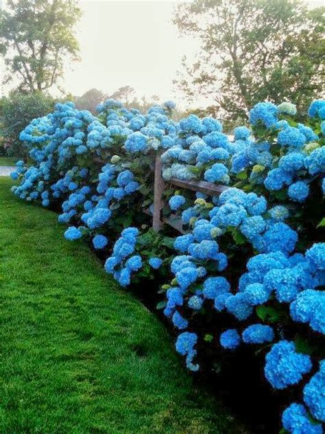 No Fail Tips For Turning Hydrangeas Blue Blue Garden Flower