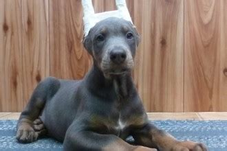 blue doberman puppies for sale 7 stunning pictures of dogs and puppys in biological science picture directory