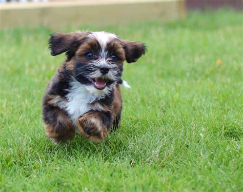 bichon shih tzu alberta 1000 ideas about small dogs for sale on morkies for sale morkie puppies