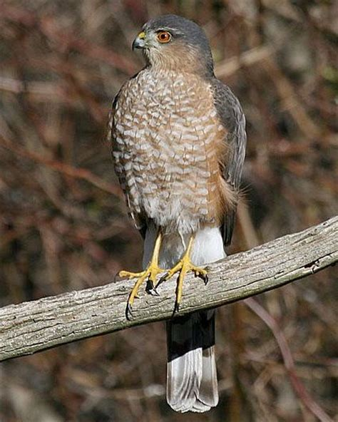 sharp shinned hawk sharp shinned hawk life list birds pinterest
