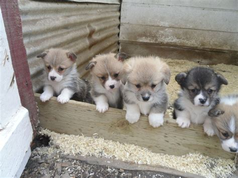 corgi puppies for sale pembrokeshire corgi puppies for sale clarbeston road pembrokeshire pets4homes