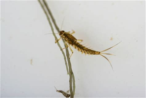 Dragonfly Project what we have been finding swimming mayfly nymph reading