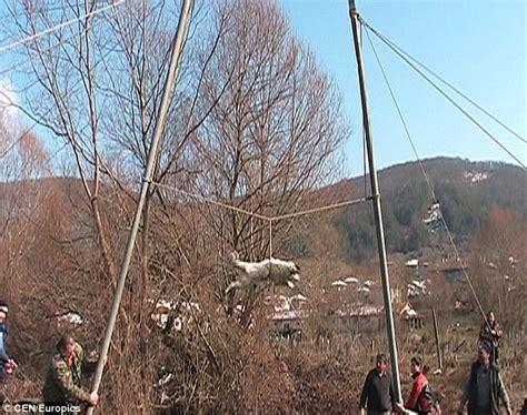 trichane na kuche kręcenie psem barbarzyńska tradycja w bułgarii in