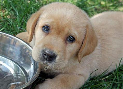 Labrador Retriever: Razza - Descrizione - Carattere ...