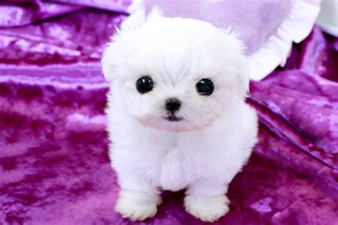 puppies for sale in ny new york teacup puppies for sale maltese puppies new york
