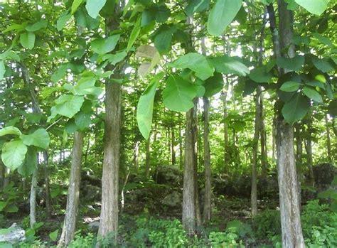 Pohon Juwet Bawang Tinggi 40 Cm manfaat pohon jati dalam kehidupan sehari hari duflora