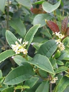 Green Foliage Outdoor Plants - osmanthus fragrans warners nurseries