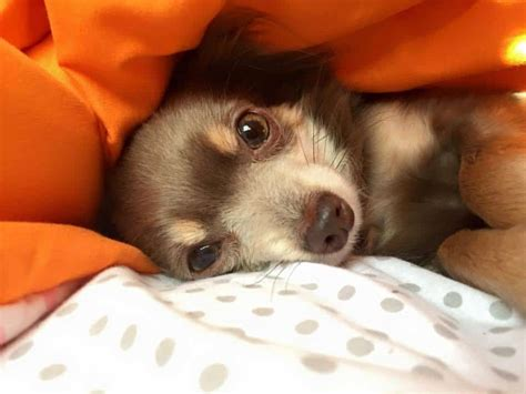 low blood sugar in puppies hypoglycemia in chihuahuas i my chi